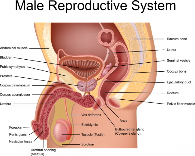 Male Reproductive System | Guide to IVF