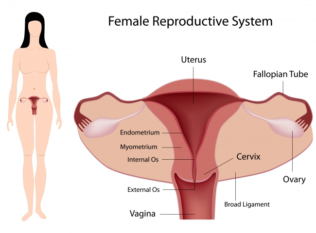 Female Reproductive System Guide For Ivf